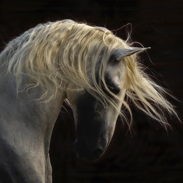 Photograph of a white horse, Unicorn by Tony Stromberg