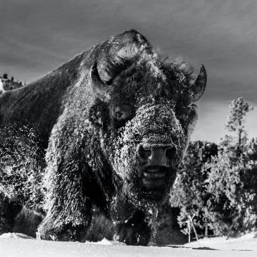 Black and white photograph of a bison in the snow at Yellowstone Park by David Yarrow as seen at Sorrel Sky Gallery